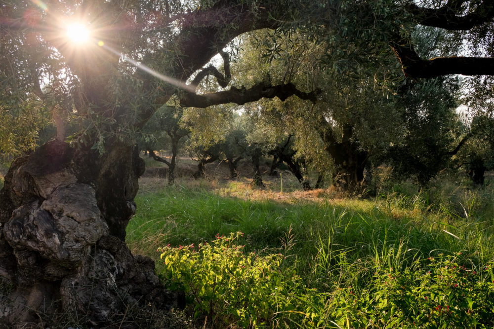 olivetrees zakynthos greece