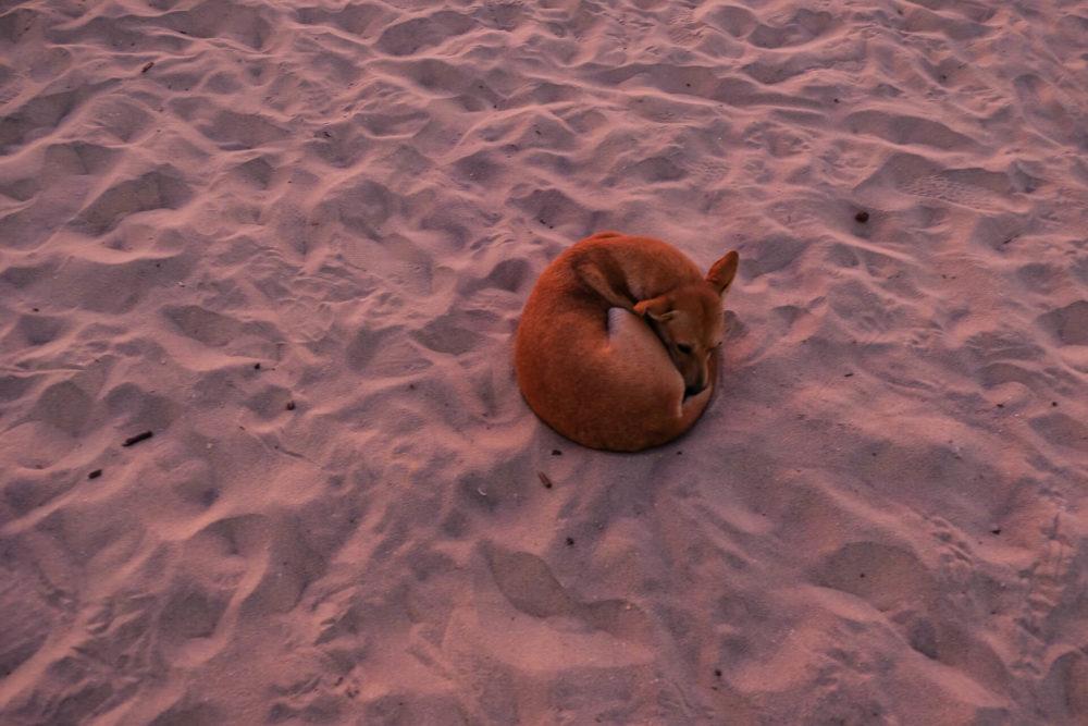 Pies śpiący na różowej plaży